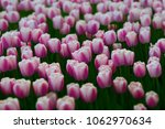 light pink tulips flowers field.... | Shutterstock . vector #1062970634