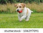Stock photo jack russel terrier dog puppy months happy in the meadow 106297091