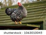 adult wyandotte  hen seen... | Shutterstock . vector #1063010045