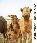 camels in the desert.  | Shutterstock . vector #1063015865