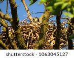 common kestrel nest  falco... | Shutterstock . vector #1063045127
