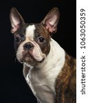 boston terrier dog on isolated... | Shutterstock . vector #1063050359