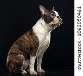 boston terrier dog on isolated... | Shutterstock . vector #1063050461