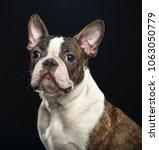 boston terrier dog on isolated... | Shutterstock . vector #1063050779