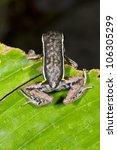 Small photo of Spot-legged Poison Frog (Ameerega hahneli) in rainforest, Ecuador
