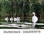 Mute Swan  Cygnus Olor  With...