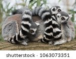 a group of ring tailed lemurs | Shutterstock . vector #1063073351