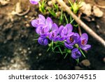 single blooming purple flower... | Shutterstock . vector #1063074515