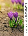 single blooming purple flower...   Shutterstock . vector #1063074521