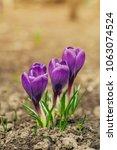single blooming purple flower...   Shutterstock . vector #1063074524