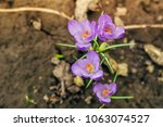 single blooming purple flower...   Shutterstock . vector #1063074527