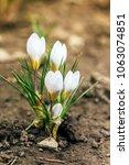 single blooming white flower...   Shutterstock . vector #1063074851