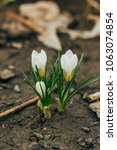 single blooming white flower...   Shutterstock . vector #1063074854