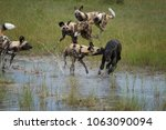 african wild dog  lycaon pictus ... | Shutterstock . vector #1063090094