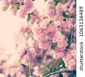 cherry blossoms in paris in...   Shutterstock . vector #1063136489