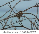 cute and lovely house sparrow... | Shutterstock . vector #1063140269