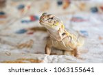 "Small photo of Roscoe, IL / USA - November 19 2017: Paprika is a Uromastyx (also called ""spiny tailed lizard"") who was adopted as a rescue by her family."