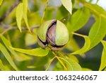 Pecan Nuts In The Organic...