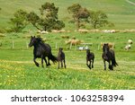 black fell pony mares with... | Shutterstock . vector #1063258394