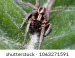 Small photo of Alopecosa albofasciata spider walking on a green leaf
