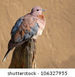 A Plump Laughing Dove Sitting...