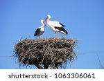 Stork Returning To Their Nests...