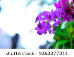 beautiful purple orchid in... | Shutterstock . vector #1063377311