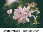 Spring has come, fruit trees are covered with flowers. Apple trees, pears, peaches argue among themselves - who is more beautiful. - stock photo