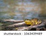 Small photo of Lithobates catesbeianus ouaouaron Amphibia bullfrog amphibian Ranidae