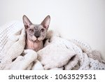 sphynx hairless cat | Shutterstock . vector #1063529531