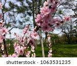 spring tree in blossom | Shutterstock . vector #1063531235