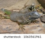 close up of an iguana perched... | Shutterstock . vector #1063561961