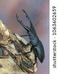 giraffe stag beetle  ...   Shutterstock . vector #1063602659