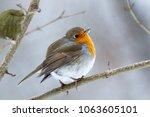 robin  erithacus rubecula .... | Shutterstock . vector #1063605101
