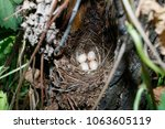erithacus rubecula. the nest of ... | Shutterstock . vector #1063605119