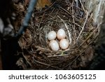 erithacus rubecula. the nest of ... | Shutterstock . vector #1063605125