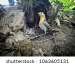 erithacus rubecula. the nest of ... | Shutterstock . vector #1063605131