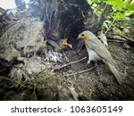 erithacus rubecula. the nest of ... | Shutterstock . vector #1063605149