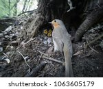 erithacus rubecula. the nest of ...   Shutterstock . vector #1063605179