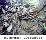 erithacus rubecula. the nest of ...   Shutterstock . vector #1063605185