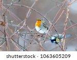 robin  erithacus rubecula ....   Shutterstock . vector #1063605209