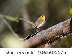 robin  erithacus rubecula .... | Shutterstock . vector #1063605575