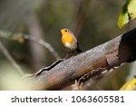 robin  erithacus rubecula .... | Shutterstock . vector #1063605581