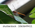 resting dragonfly on green leaf | Shutterstock . vector #1063649411