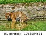 siberian tiger  panthera tigris ... | Shutterstock . vector #1063654691