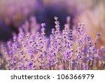 purple lavender flowers  ... | Shutterstock . vector #106366979