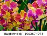 beautiful vandas  vanda orchid... | Shutterstock . vector #1063674095