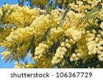Flowers Of Silver Wattle
