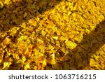 The Ginkgo Leaves Fall Down To...