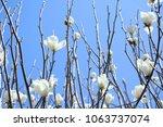 yulan magnolia flower | Shutterstock . vector #1063737074